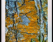 Tree Bark with Orange Lichen. Instant Digital Download in Five Sizes of Photograph