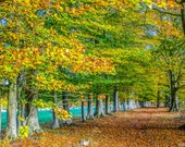 Golden Beech Trees, Row of Golden Beech Trees in Autumn.  Digital Photograph Download in Four Sizes