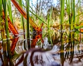 Red Leaf | Photograph | Instant Digital Download in Five Sizes | Reeds and Leaves in Water