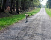 Wait For Me!  Photo of a Beagle Dog Running along a Track. An Image in Five Different Sizes for Instant Download.