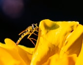 Yellow Wasp. Photo of a yellow Wasp on a Yellow Flower. Set of Five Sizes of Image. Five Digital Downloads. Photograph to download