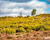 Frensham Common, Surrey. Instant Digital Download in Four sizes of Photograph.