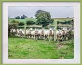 Just some Sheep. A flock of sheep in a field at the camera. Instant Digital Download in Four Sizes
