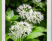 Wild Garlic Photograph. Instant Download to Print. Four Sizes of Photo. Instant Digital Download