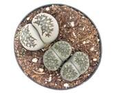 Lithops Stone Faces 2.5 inch Living Stones Lithops Live Mimicry Plant Live Succulent House Plant Succulent Indoor Plant