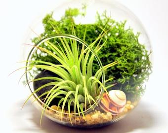 Air plant Kit glass Terrarium Green theme with green shells and Green Ionantha