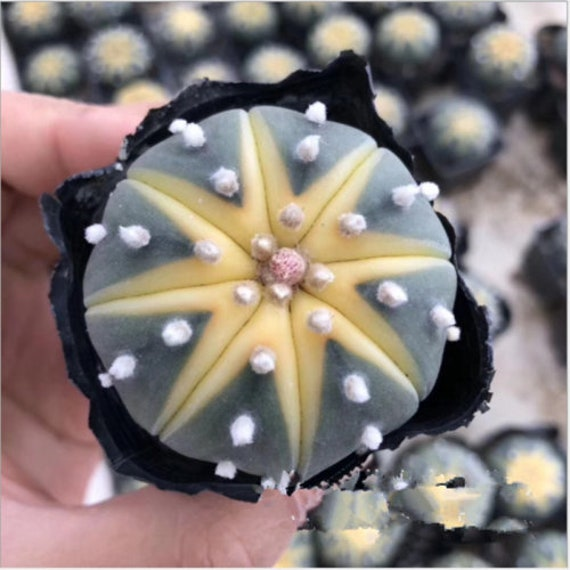 Astrophytum myriostigma cactuschina cactus Succulent plants Home Garden Bonsai