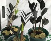 BLACK RAVEN ZZ live plant rare flo 39 grown