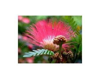 Regenbaum 10 seeds Albizia Lebbeck 10 Samen Mimosa