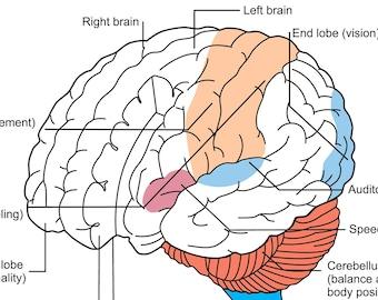 EDITIBLE eps vector file The brain Scheme. Vector illustration on white background