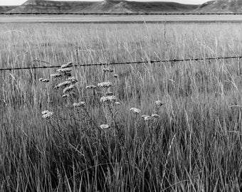 Flowers Against Barbwire  black and white photograph, archival print