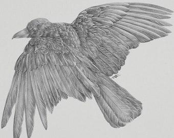 ORIGINAL Raven 9x12 Graphite Illustration