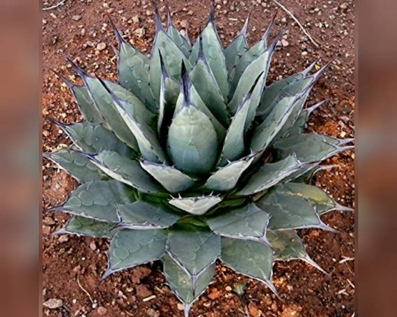 RARE YUCCA CARNEROSANA  exotic succulent cactus seed aloe agave garden 15 SEEDS