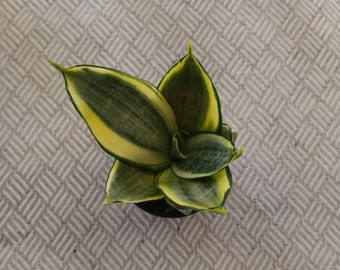 "Live plant, Rare Sanseveria Hahnii ""Gold Hahnii"", Variegated Snake plant, Birds Nest, Compacta, 2"" pot"