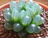 MIXED RARE succulent Haworthia seeds unique