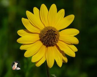 Lone Yellow Sunflower Print | Lone Yellow Sunflower Photo | Nature Print | Nature Photo