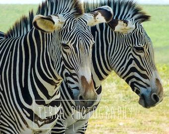 Zebra Print | Zebra Photo | Zebra Wall Art | Zebra Wall Decor | Zebra Home Decor | Zebra Nursery Print