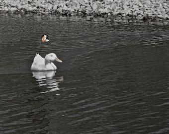 White Duck on Pond Print | White Duck on Pond Photo | Nature Print | Nature Photo