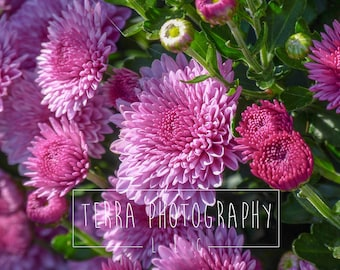 Pink Chrysanthemums Macro Print | Pink Chrysanthemums Macro Photo | Flower Print | Flower Photo | Plant Print | Gift for Her | Gift for Mom