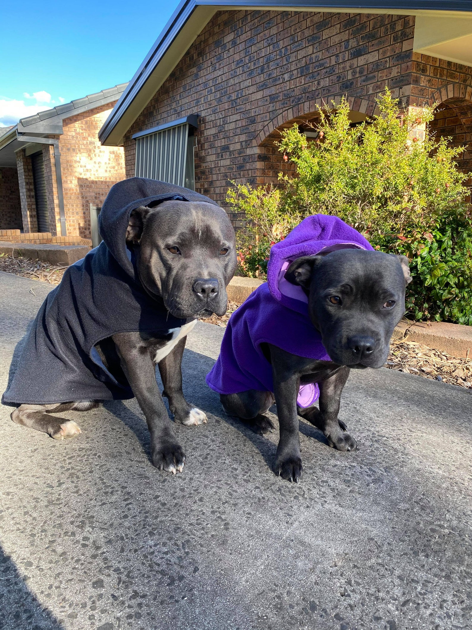 Two dogs wearing hoodies