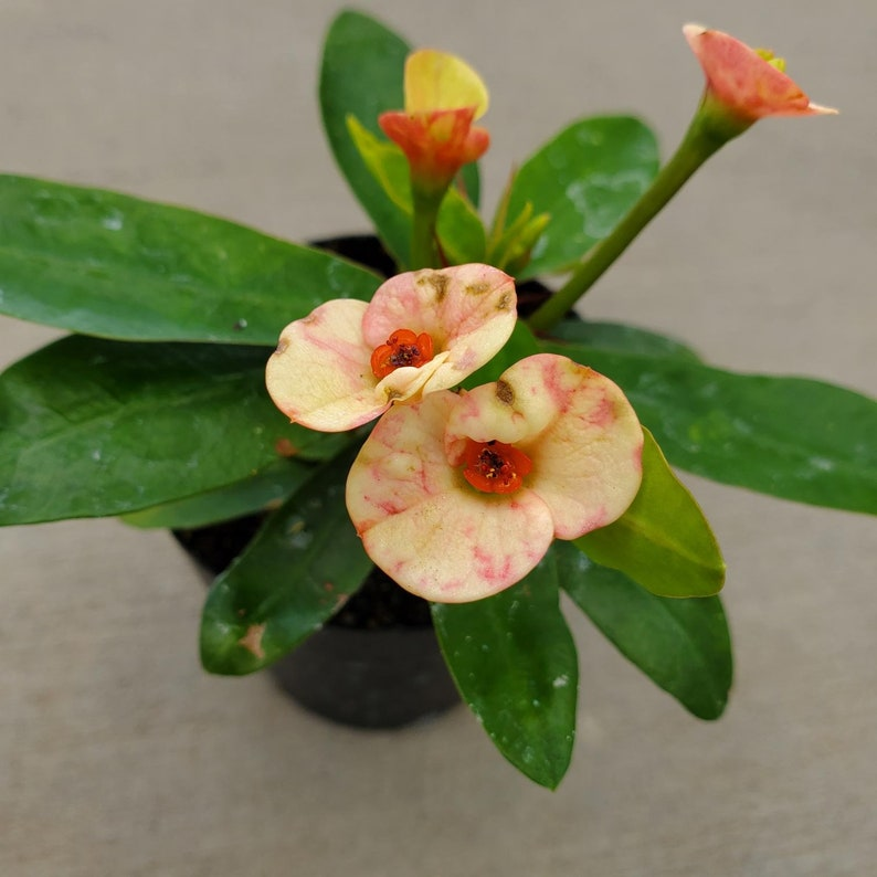 Euphorbia milii /'Zephyr\u2019 2.5 Growers Pot Crown of Thorns
