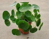Pilea peperomioides (Chinese Money Plant) - 4 quot Growers Pot