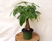 LIVE Money Tree Pachira Aquatica Good Luck tree Bonsai in 6 quot growers pot