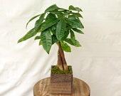 LIVE Money Tree Pachira Aquatica Good Luck tree Bonsai in 5 quot wooden box
