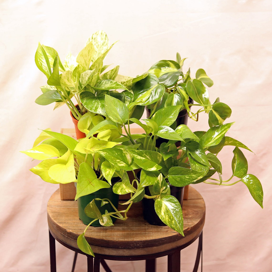 LIVE 4 Plants Philodendron & Pothos Collection Brazilian image 0