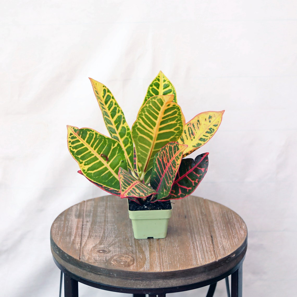LIVE Petra Croton houseplant evergreen in 3 growers pot image 0
