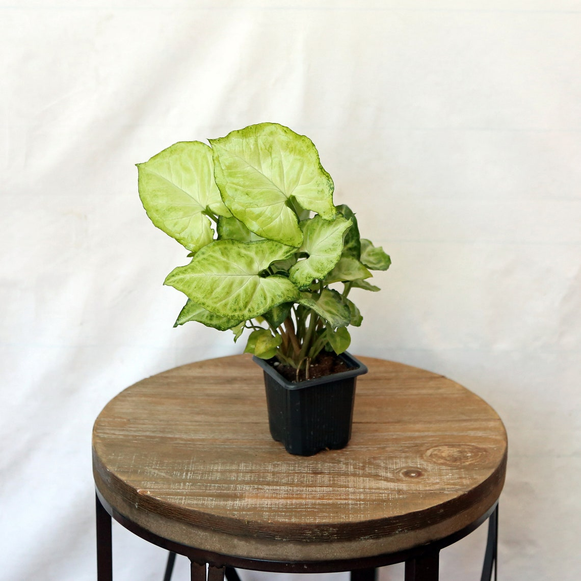 LIVE Syngonium Nephthytis Arrowhead evergreen houseplant in image 0
