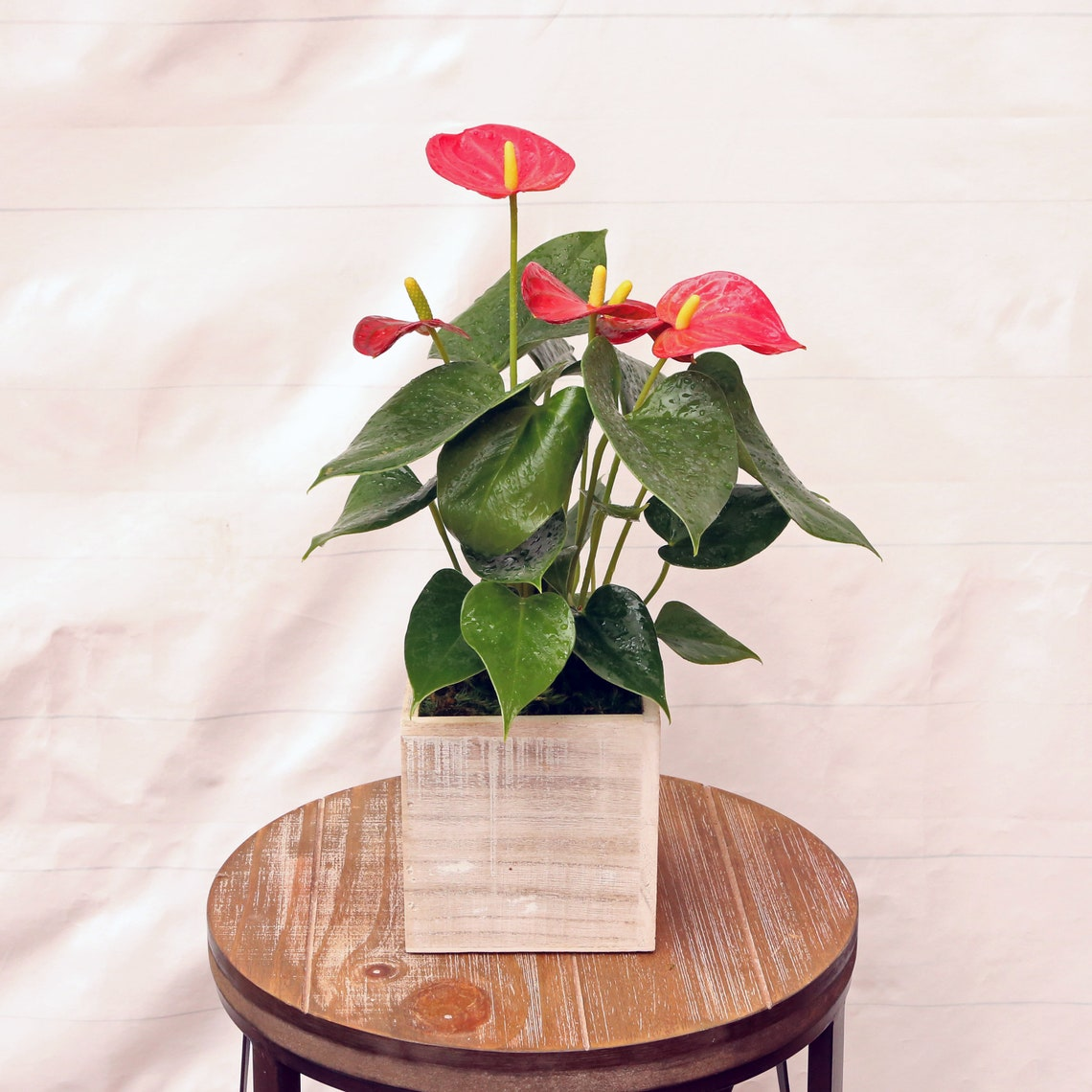 LIVE Anthurium blooming flowering houseplant in 5 wooden image 0