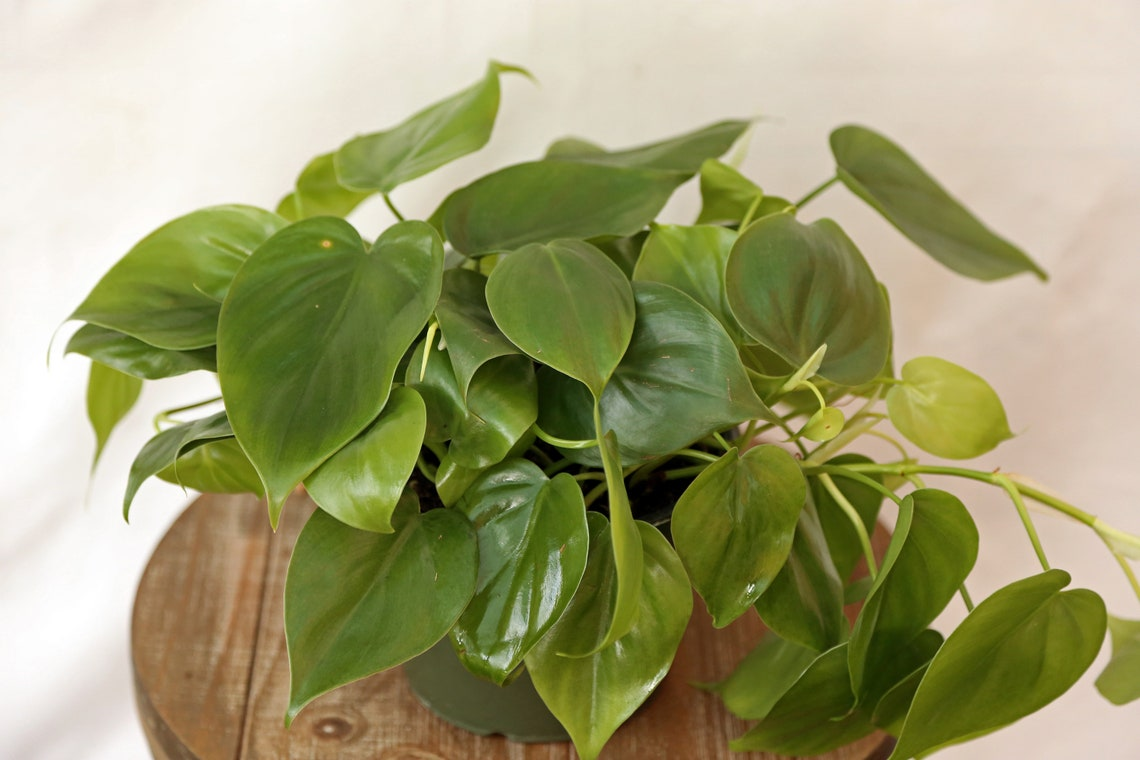 LIVE Green Philodendron Heartleaf or Philodendron Hederaceum image 1