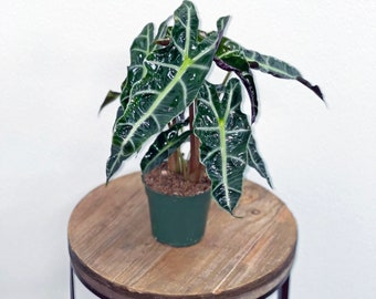 """LIVE Alocasia Polly evergreen houseplant in 4"""" growers pot"""