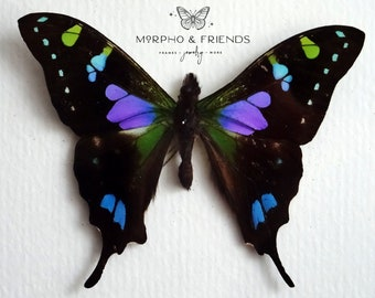 unmounted moths taxidermy art and collectibles insect black mixed media blue One real Graphium doson axion butterfly wings folded
