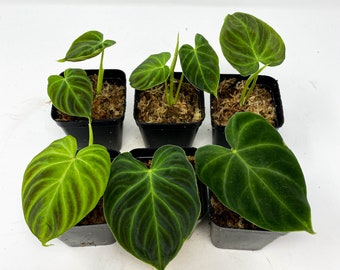 US seller Philodendron verrucosum super 'Mini' red back (cutting)
