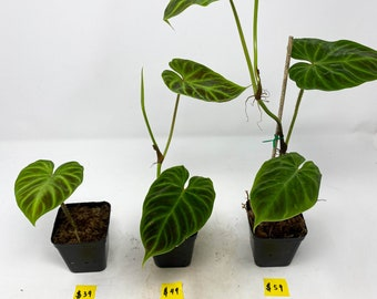 Thanksgiving special sale! End until 11/28! Philodendron verrucosum ( three different size!)