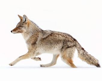 Yellowstone Coyote, Wildlife Photography, Winter Animal Photo Print, Nature Wall Art, Lauren Pretorius Photography | 35