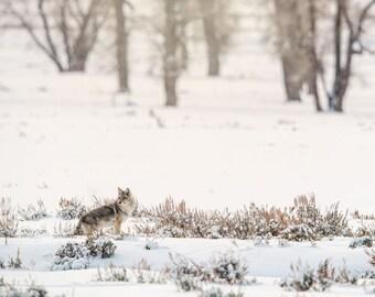 Yellowstone Coyote, Wildlife Photography, Winter Animal Photo Print, Nature Wall Art, Lauren Pretorius Photography | 33
