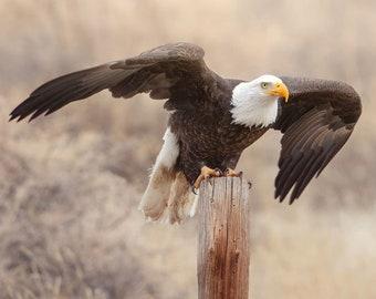 American Bald Eagle, Wildlife Photography, Bird Animal Photo Print, Nature Wall Art, Lauren Pretorius Photography | 31