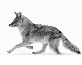 Yellowstone Coyote, Black and White Wildlife Photography, Winter Animal Photo Print, Nature Wall Art, Lauren Pretorius Photography | 8