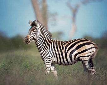 Zebra Profile, Wildlife Photography, Animal Photo Print, Nature Wall Art, Lauren Pretorius Photography | 106