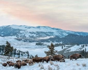 Bison Heard, Wildlife Photography, Buffalo Winter Animal Photo Print, Nature Wall Art, Lauren Pretorius Photography | 30