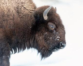 American Bison, Wildlife Photography, Buffalo Winter Animal Photo Print, Nature Wall Art, Lauren Pretorius Photography | 38