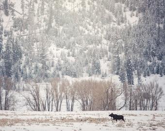 Yellowstone Moose, Wildlife Photography, Winter Animal Photo Print, Nature Wall Art, Lauren Pretorius Photography | 32