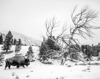 American Bison, Wildlife Photography, Black and White Winter Buffalo Animal Photo Print, Nature Wall Art, Lauren Pretorius Photography | 42