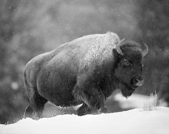 American Bison, Black and White Wildlife Photography, Buffalo Winter Animal Photo Print, Nature Wall Art, Lauren Pretorius Photography | 13