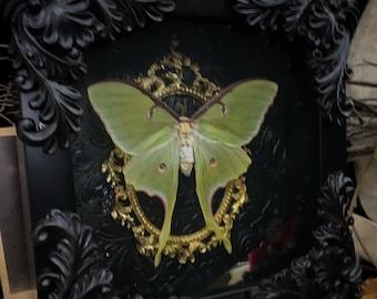 Lady Luna Moth