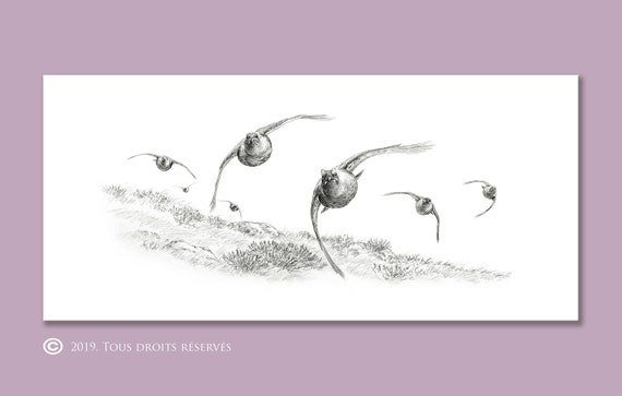 Driven Red Grouse reproduction of animal drawing by artist Walter Arlaud numbered and signed prints