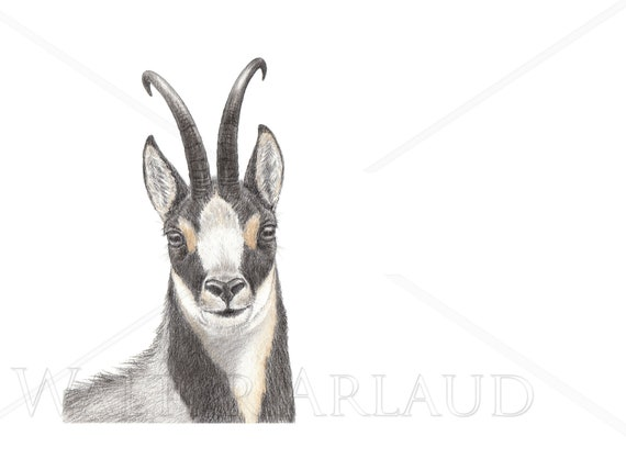 Portrait Isard, print, drawing, watercolour, animal art, animal painting, art, decoration, mountain animals, Pyrenees